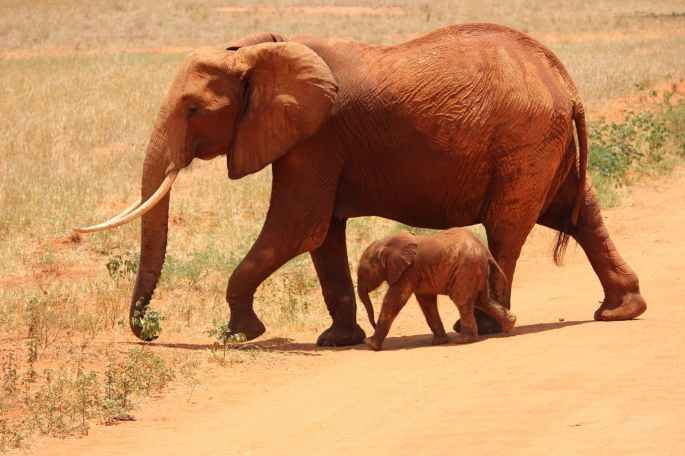 elephant cub kenya savanna